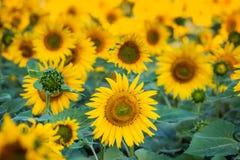 Sonnenblumen auf einem Nahaufnahmegebiet Stockbilder