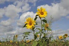 Sonnenblumen auf einem natürlichen Gebiet Lizenzfreies Stockbild