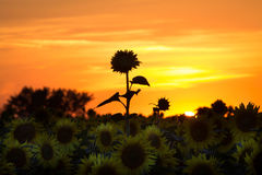 Sonnenblumen auf einem Sonnenuntergang Stockfotos