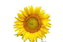 Sonnenblumen auf Himmel von Thailand Lizenzfreie Stockfotografie