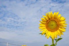Sonnenblumen auf Himmel von Thailand Stockbilder