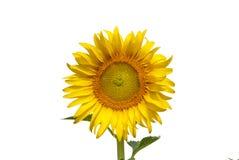 Sonnenblumen auf Himmel von Thailand Stockfotografie