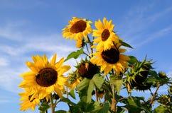 Sonnenblumen auf Himmelhintergrund Stockbild