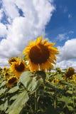 Sonnenblumen auf Hintergrund des blauen Himmels RAUM FÜR BEDECKUNGSschlagzeile UND TEXT Lizenzfreie Stockfotografie