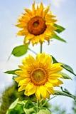 Sonnenblumen auf natürlichem Himmel beackground Stockbilder