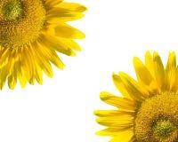 Sonnenblumen auf Weiß Lizenzfreie Stockfotografie