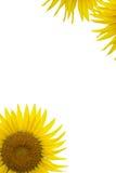 Sonnenblumen auf weißem #2 Lizenzfreie Stockfotos