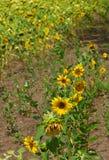 Sonnenblumen auf Zusammenfassung Lizenzfreies Stockfoto