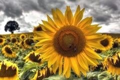 Sonnenblumen bei Burgunder - Frankreich Lizenzfreies Stockfoto