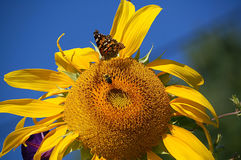 Sonnenblumen-Bestäubung lizenzfreie stockfotografie