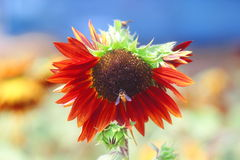 Sonnenblumen-Biene Lizenzfreie Stockfotografie