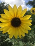Sonnenblumen-Biene Lizenzfreies Stockfoto