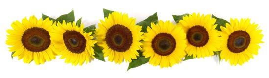 Sonnenblumen-Blüten-Panorama mit Blättern lizenzfreie stockfotografie