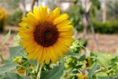 Sonnenblumen-Blüte im Mornig stockfoto
