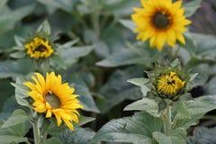 Sonnenblumen in den verschiedenen Stufen des Wachstums Stockbilder
