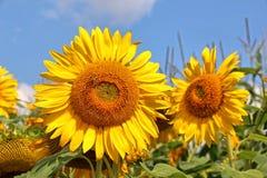 Sonnenblumen in der Blüte Lizenzfreie Stockfotografie