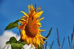 Sonnenblumen in der Blüte Stockbilder