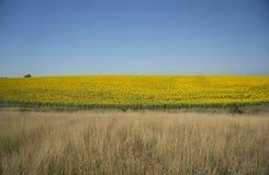 Sonnenblumen in der Blüte Stockfotografie