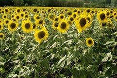 Sonnenblumen, die auf dem Gebiet Frankreich wachsen Stockfotografie