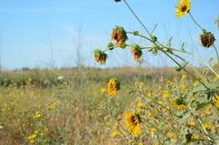 Sonnenblumen, die auf einem Gebiet verwelken Lizenzfreies Stockfoto