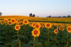 Sonnenblumen, die in das Licht glühen stockfotos