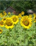 Sonnenblumen, die durch einen roten Stall wachsen   Lizenzfreies Stockbild