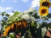 Sonnenblumen, die gegen einen hellen Himmel, blühende Sonnenblumen-, schönen und großensonnenblumen blühen, Lizenzfreies Stockbild