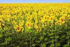 Sonnenblumen, die im hellen blauen Himmel blühen stockfoto