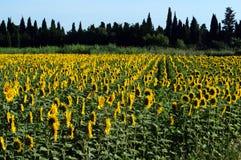 Sonnenblumen drehen die Sonne Lizenzfreies Stockfoto
