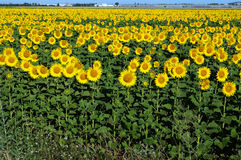 Sonnenblumen drehen die Sonne Stockfotos