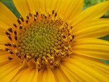 Sonnenblumen-DUA Lizenzfreie Stockfotos