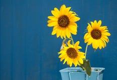 Sonnenblumen in einem hellblauen Metallpotentiometer gegen Blau Stockfoto