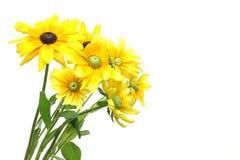 Sonnenblumen in einem weißen Hintergrund Stockbilder