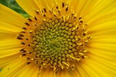 Sonnenblumen empat Stockfotografie