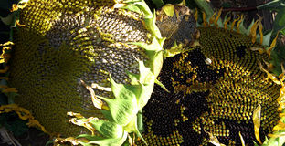 Sonnenblumen-Familie Lizenzfreie Stockfotografie