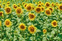 Sonnenblumen fangen in Bulgarien auf Lizenzfreies Stockfoto