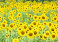 Sonnenblumen fangen in Lopburi, Thailand auf Lizenzfreie Stockfotos