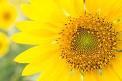 Sonnenblumen fangen in Lopburi, Thailand auf Stockbilder