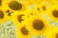 Sonnenblumen fangen in Lopburi, Thailand auf Stockfoto