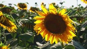Sonnenblumen am Feld stock video