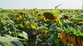 Sonnenblumen am Feld stock video footage
