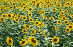 Sonnenblumen-Felder Lizenzfreie Stockfotografie