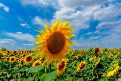 Sonnenblumen in Frankreich Stockbilder