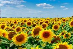 Sonnenblumen in Frankreich Stockfotografie