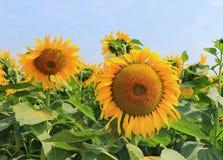 Sonnenblumen-Garten stockbild