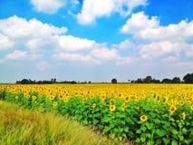 Sonnenblumen-Garten Stockbilder