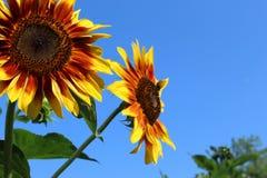 Sonnenblumen gegen blauen Himmel Lizenzfreies Stockfoto