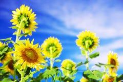Sonnenblumen gegen blauen Himmel mit Wolken Lizenzfreies Stockbild