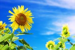 Sonnenblumen gegen blauen Himmel mit Wolken Stockfoto