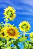 Sonnenblumen gegen blauen Himmel mit Wolken Stockbild